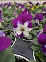 Pansy Free Fall Purple White