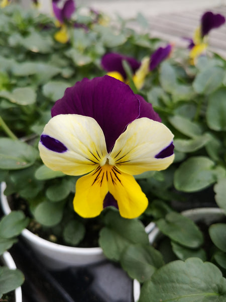 Pansy Free Fall Purple Wing