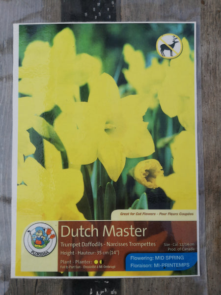Daffoldil Dutch Master