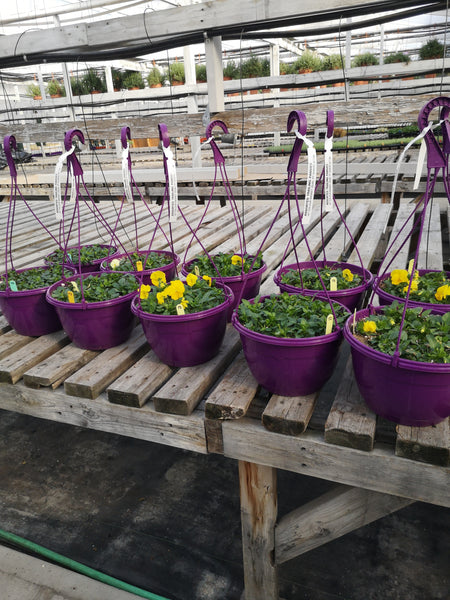 "10"" Purple Hanging Basket Pansy"