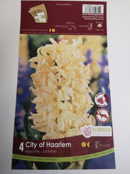 Hyacinth City of Harlem