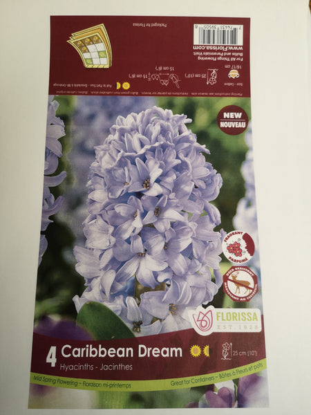 Hyacinth Caribbean Dream