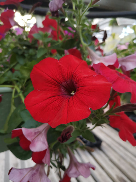 Petunias Cascadia Chili Red