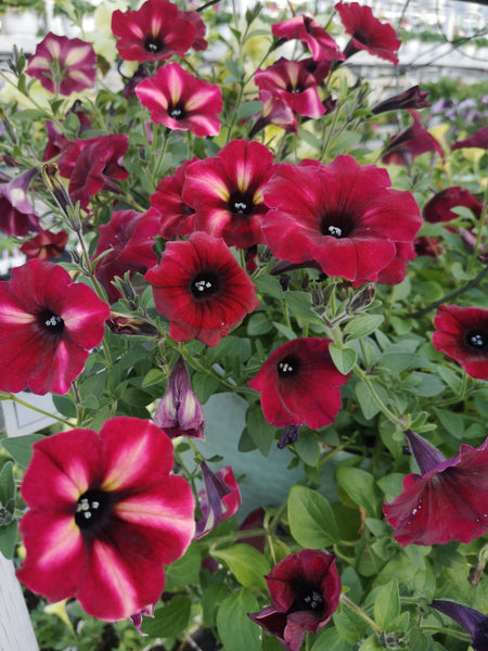 Petunias Colour Rush Merlot Star