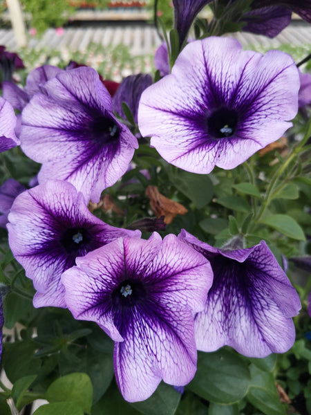 Petunias Durabloom Blue Vein