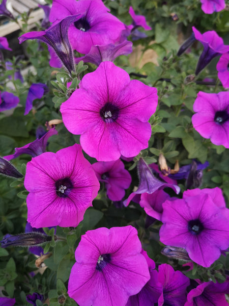 Petunias Durabloom Electric Lilac