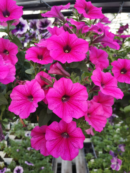 Petunias Durabloom Hot Pink
