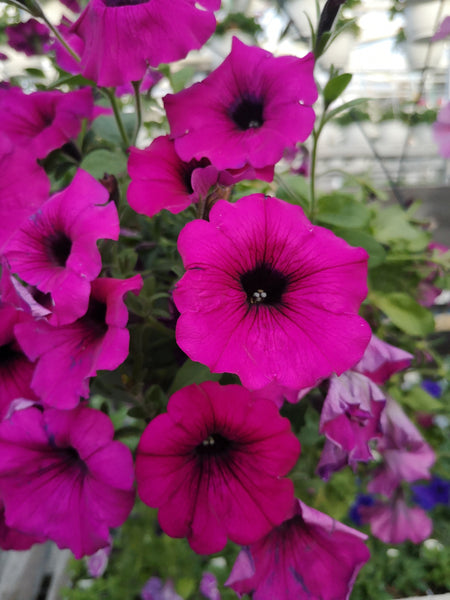Petunias Durabloom Purple