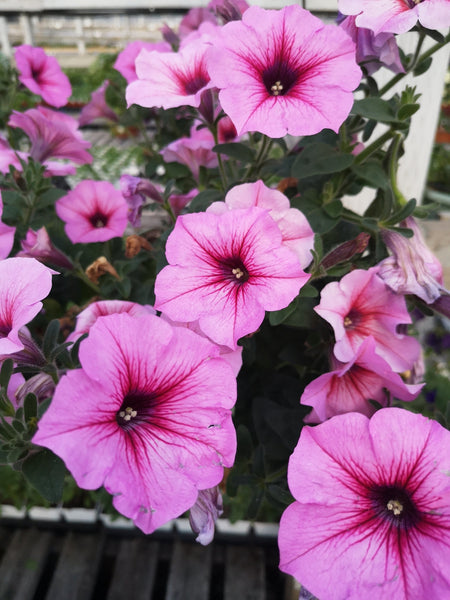 Petunias Durabloom Royal Pink