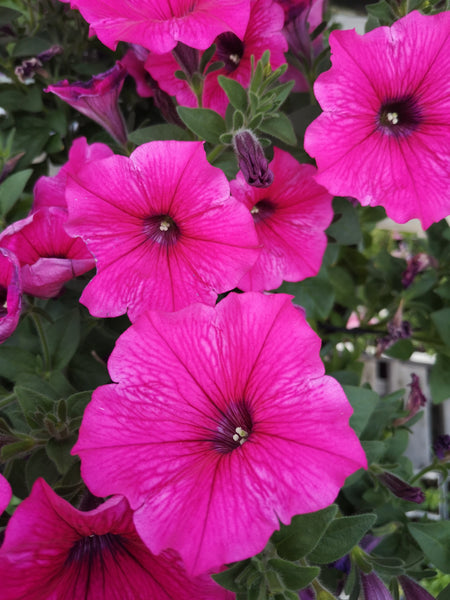 Petunias Durabloom Watermelon