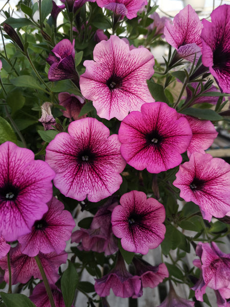 Petunias Easy Wave Rose Fusion