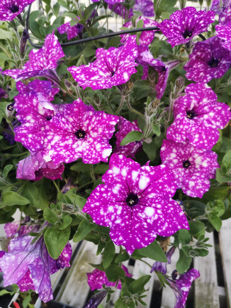 Petunias Splash Dancer Purple Polka