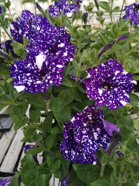 Petunias Surprise Sparkle Blue