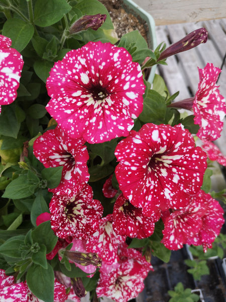 Petunias Surprise Sparkle Red