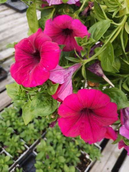 Petunias Surprise Sparkle Magenta