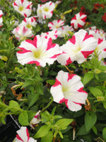 Petunias Amore King of Hearts