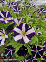 Petunias Amore Purple Heart