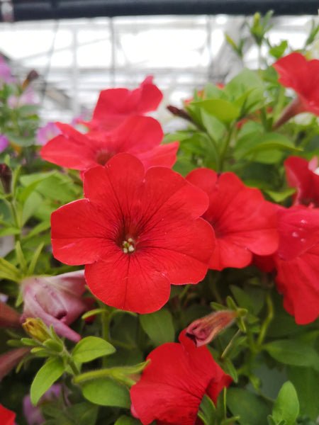 Petunias Capella Red