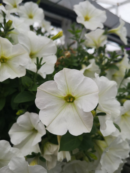 Petunias Capella White