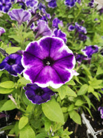 Petunias Crazytunia Blue Ice