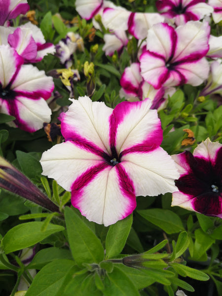 Petunias Crazytunia Iced Berry