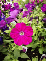 Petunias Crazytunia Purple Prince