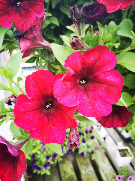 Petunias Crazytunia Red Blues