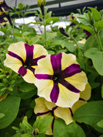 Petunias Crazytunia Spider Girl