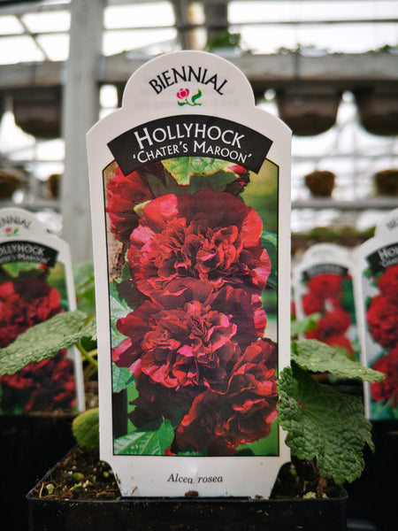 Hollyhock Chaters Maroon