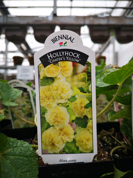 Alcea 'Chaters Yellow'