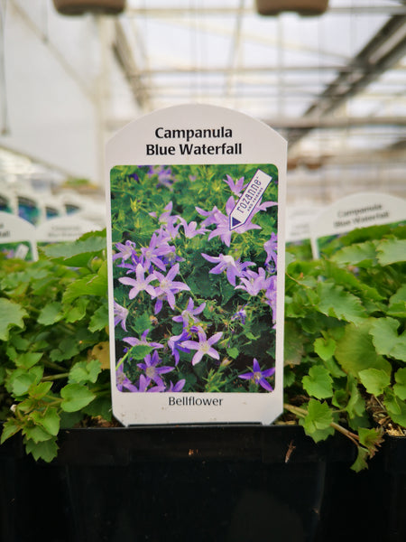 Campanula 'Blue Waterfall'