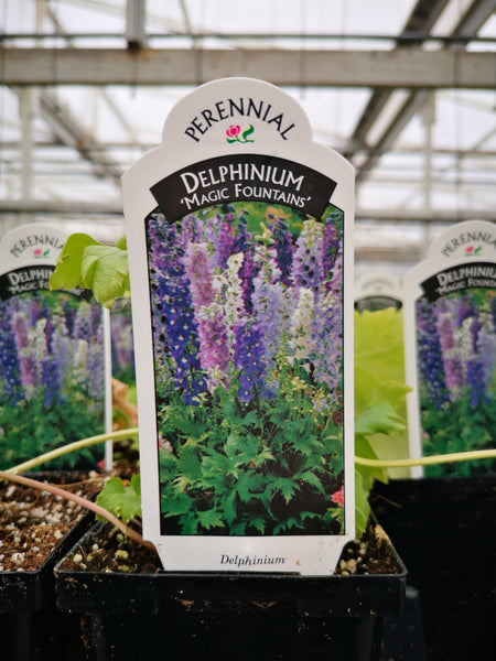 Delphinium elatum 'Magic Fountain Mix'