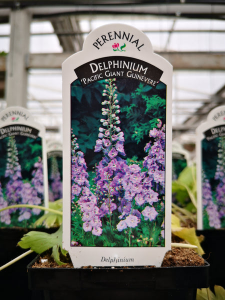Delphinium Pacific Giant 'Guinevere'