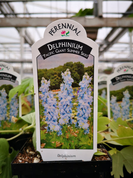 Delphinium Pacific Giant 'Summer Skies'
