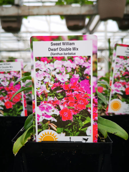 Dianthus barbatus 'Dwarf Double Mix'