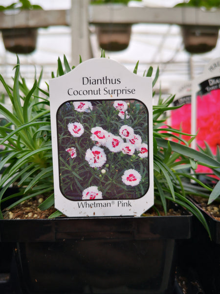 Dianthus 'Coconut Surprise'