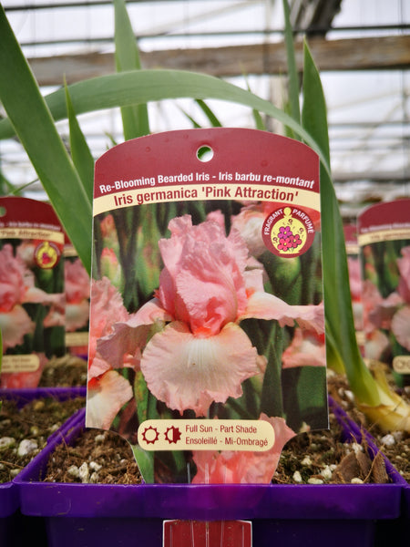 Iris germanica 'Pink Attraction'