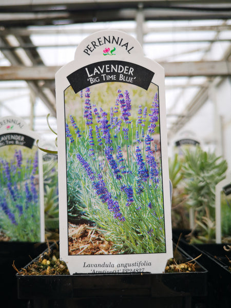 Lavandula angustifolia 'Big Time Blue'