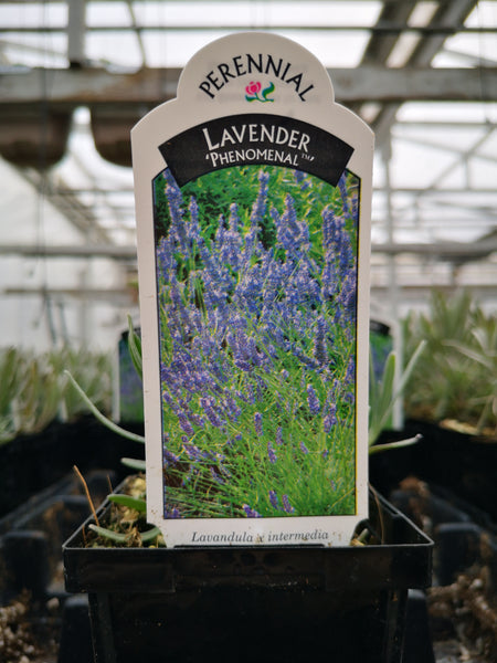 Lavandula intermedia 'Phenomenal'