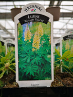Lupin 'Gallery Yellow'