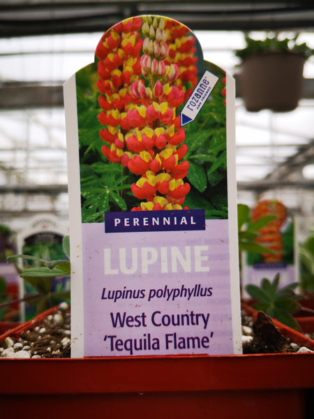 Lupin 'Westcountry Tequila Flame'