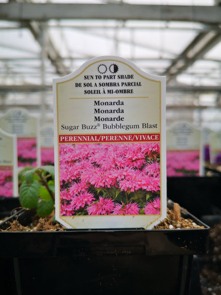 Monarda 'Sugar Buzz Bubblegum Blast'