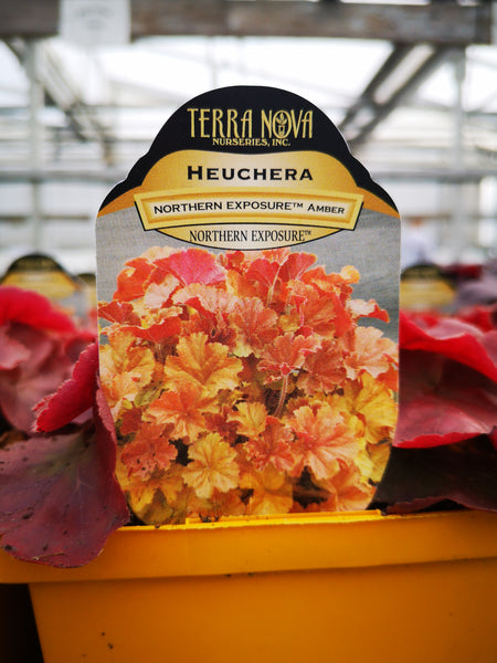 Heuchera 'Northern Exposure Amber'
