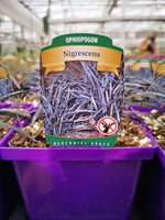 Ophiopogon 'Nigrescens'
