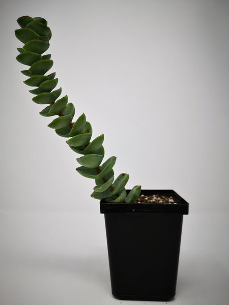 Succulent (Tender) Crassula commutata