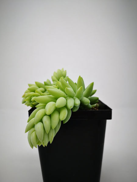 Succulent (Tender) Sedum morganianum Pointed Leaf (Donkey Tail)