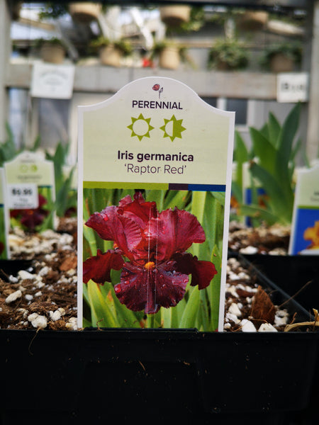 Iris germanica 'Raptor Red'