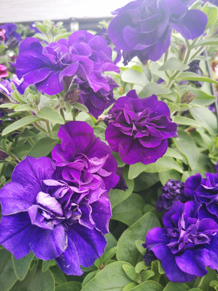 Petunias Double Vogue Blue