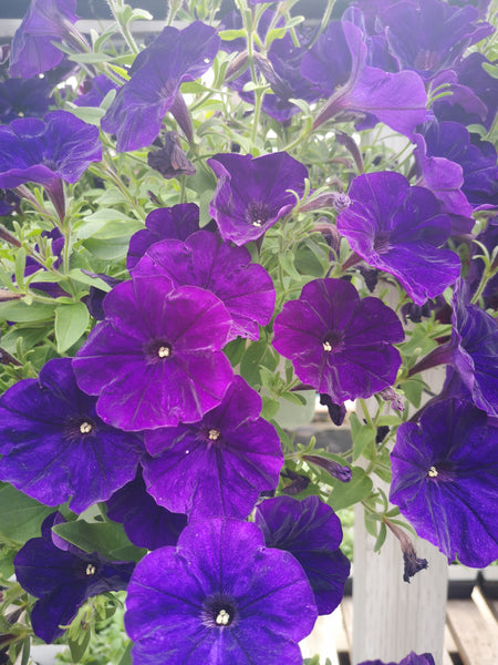 Petunias Cannon Ball Blue
