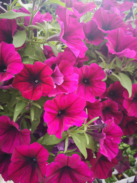 Petunias Cannon Ball Burgundy
